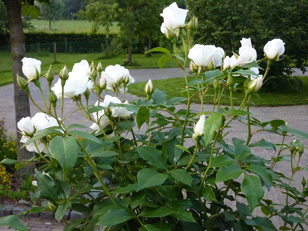 Guus-Schutte-Wijhe-Hovenier-tuinen